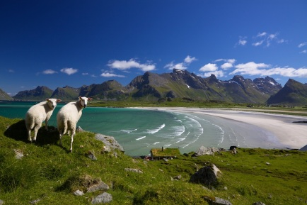 Sheep on Lofoten islands